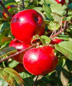 Kalnes Hagesenter * Frukt og bær - Høsteple / Vintereple Lobo