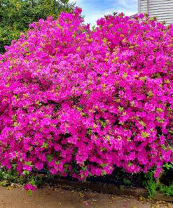 Kalnes Hagesenter * Hageplanter - Rhododendron