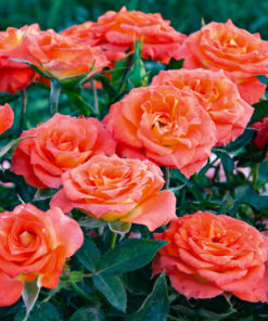Kalnes Hagesenter * Klaseroser - Rose mandarin