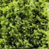 Kalnes Hagesenter * Vintergrønne hekker - Taxus Media Hicksii