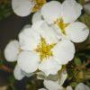 Kalnes Hagesenter * Blomstrende hekker-Potentilla Abbotswood-Buskmure