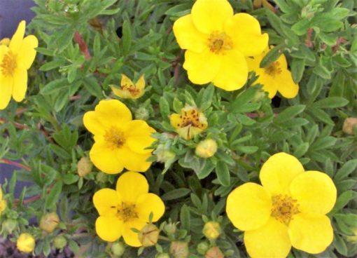 Kalnes Hagesenter*Blomstrende hekker-Potentilla Goldfinger-Buskmure