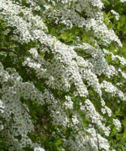 Kalnes Hagesenter*Blomstrende hekker-Spirea cinerea Grefsheim-Brudespirea