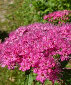 Kalnes Hagesenter*Blomstrende hekker Spirea-japonica Frobelli-Japanspirea
