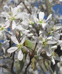 Kalnes Hagesenter * Blomstrende hekker - Amalanchier Spicata (Søtmispel)