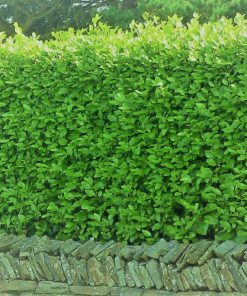 Kalnes Hagesenter * Klipte hekker - Cotoneaster Lucidus / Blankmispel