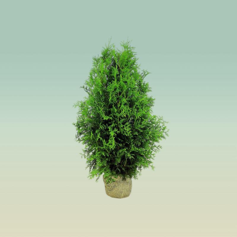 Kalnes Hagesenter - Hagetips * Thuja - Behandling av nye planter