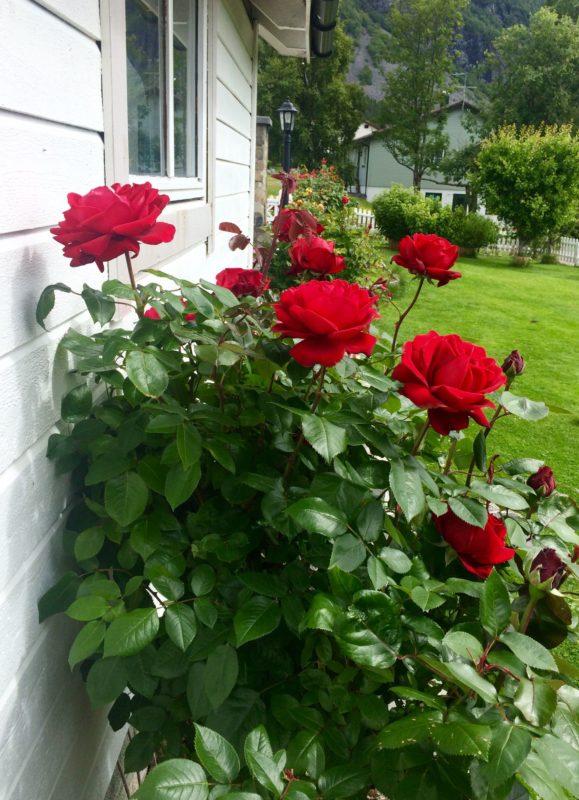 Kalnes Hagesenter - Hagetips * Rosestell - Roser til hagen