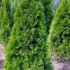 Kalnes Hagesenter*vintergrønne-hekker-thuja Smaragd