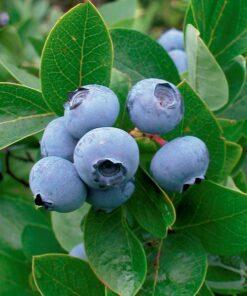 Kalnes Hagesenter * Frukt og bær - Blåbær Patriot