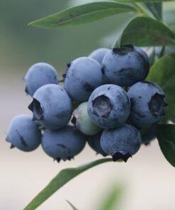Kalnes Hagesenter * Frukt og bær - Blåbær Birgitta