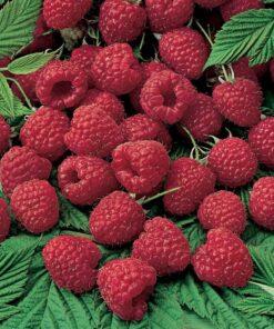Kalnes Hagesenter * Frukt og bær - Bringebær Glen Ample