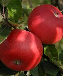 Kalnes Hagesenter * Frukt og bær - Høsteple Discovery