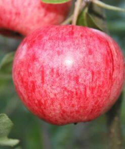 Kalnes Hagesenter * Frukt og bær - Sommereple Huvitus