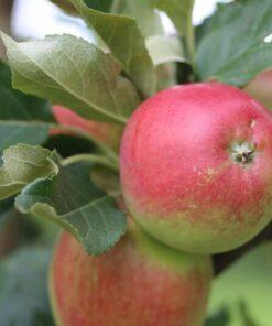 Kalnes Hagesenter * Frukt og bær - Høsteple Katja