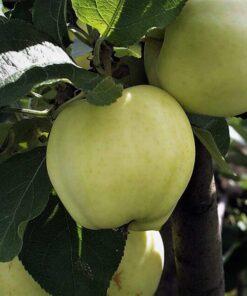 Kalnes Hagesenter * Frukt og bær - Sommereple Transparente Blanche