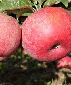 Kalnes Hagesenter * Frukt og bær - Høsteple Rød Aroma