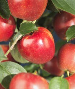 Kalnes Hagesenter * Frukt og bær - Høsteple Rød Kronprins