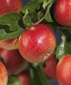 Kalnes Hagesenter * Frukt og bær - Høsteple Rød Savstaholm