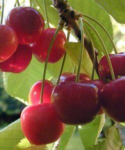 Kalnes Hagesenter * Frukt og bær - Moreller Merton Glory