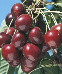 Kalnes Hagesenter * Frukt og bær - Moreller Stella
