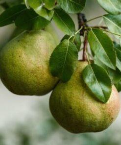 Kalnes Hagesenter * Frukt og bær - Pære Broket Julipære