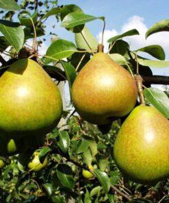 Kalnes Hagesenter * Frukt og bær - Pære Clara Frijs