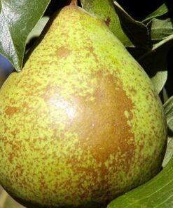 Kalnes Hagesenter * Frukt og bær - Pære Herrepære