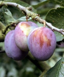 Kalnes Hagesenter * Frukt og bær - Plomme Mallard
