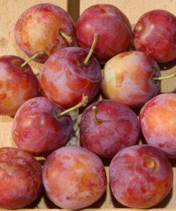 Kalnes Hagesenter * Frukt og bær - Plomme Opal