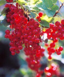 Kalnes Hagesenter * Frukt og bær - Rips Rød Hollandsk