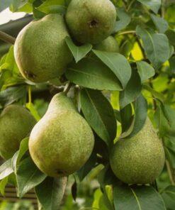 Kalnes Hagesenter * Frukt og bær - Pære Anna