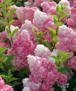 Kalnes Hagesenter * Prydbusker - Hydrangea paniculata Vanille Fraise - Syrinhortensia