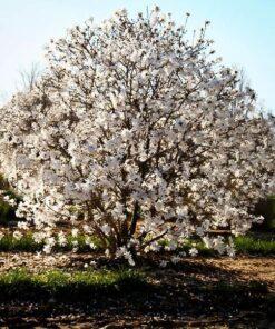 Kalnes Hagesenter * Prydbusker - Magnolia stellata - Royal Star - Stjernemagnolia