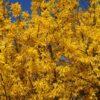 Kalnes Hagesenter * Prydbusker - Forsythia intermedia - Gullbusk