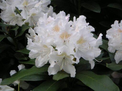 Kalnes Hagesenter * Hageplanter - Rhododendron Cunningham White