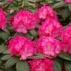 Kalnes Hagesenter * Hageplanter - Rhododendron Germania