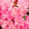Kalnes Hagesenter * Hageplanter - Rhododendron Kalinka