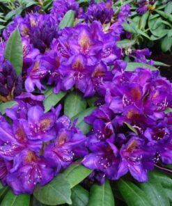 Kalnes Hagesenter * Hageplanter - Rhododendron Marcel Menard