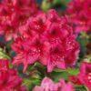 Kalnes - Hagesenter * Hageplanter - Rhododendron Nova Zembla