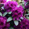Kalnes Hagesenter * Hageplanter - Rhododendron Polarnacht