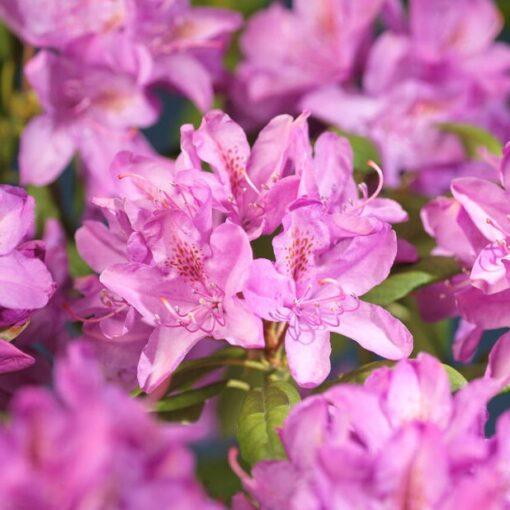 Kalnes - Hagesenter * Hageplanter - Rhododendron Roseum Elegans