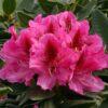 Kalnes - Hagesenter * Hageplanter - Rhododendron Cosmopolitan