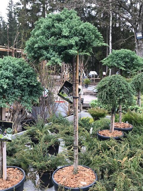 Kalnes Hagesenter * Spesielle - Juniperus procumbens nana