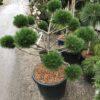 Kalnes Hagesenter * Spesielle - Pinus nigra Brepo bonsai