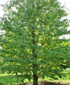 Kalnes Hagesenter * Trær - Cercidiphyllum Japonicum - Hjetretre