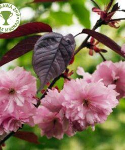 Kalnes Hagesenter * Trær - Prunus s - Royal Burgundy