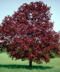 Kalnes Hagesenter * Trær - Royal Red - Blodlønn