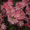 Kalnes Hagesenter * Hageplanter - Rhododendron Percy Wiseman