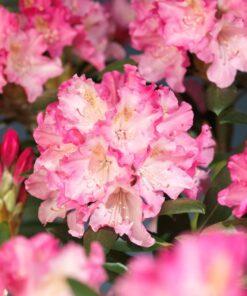 Kalnes Hagesenter * Hageplanter - Rhododendron Polaris